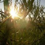 Podere Millefiori - Olivenernte